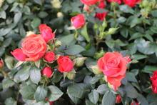 Ihana Äitienpäivä-ruusu pieni